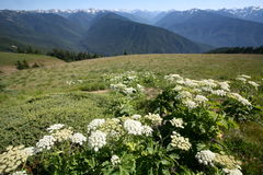 Hurricane ridge in Olympic national park Royalty Free Stock Image