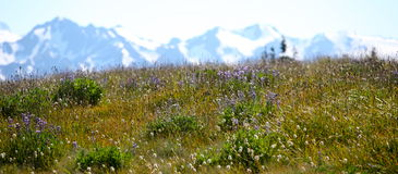 Hurricane ridge in Olympic national park Stock Photography