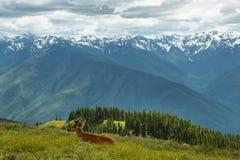 Hurricane Ridge of Olympic National Park, WA, USA. Deer lying in the meadows of Hurricane Ridge, Olympic National Park, WA, USA Stock Image