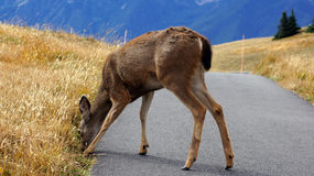 Hurricane Ridge, Olympic National Park, WASHINGTON USA - October 2014: A blacktail deer stops to admire the view of the Stock Photo