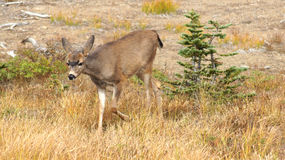 Hurricane Ridge, Olympic National Park, WASHINGTON USA - October 2014: A blacktail deer stops to admire the view of the Stock Photography