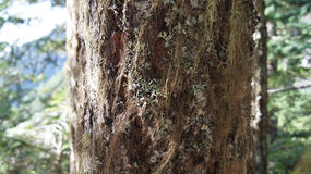 Hurricane Ridge, Olympic National Park, WASHINGTON USA - October 2014: tree coverd with moss.  stock photography