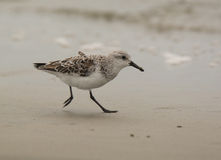 Hurried Sanderling Stock Images