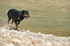Hurry Rottweiler dog Stock Images