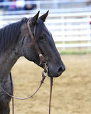 Hurry up and Wait. Roping horse waiting on rider Stock Image