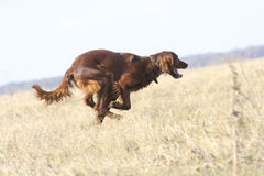 Hurrying dog. Hunts with a dog on a bird Stock Photo