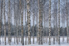 Hurst των δέντρων σημύδων με τα δέντρα σε μια σειρά ενάντια μπλε και γκρίζος Στοκ Φωτογραφία