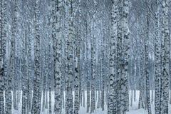 Hurst de los árboles de abedul con los árboles en fila en luz azul del invierno Fotos de archivo libres de regalías
