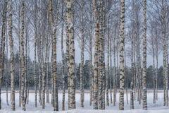 Hurst degli alberi di betulla con gli alberi in una fila contro un blu e grigio Fotografia Stock