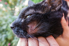 Hurt cat. Closeup of dirty hurt cat with injured face Royalty Free Stock Photography