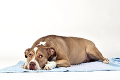 Hurt dog. With a surgical dressing royalty free stock image