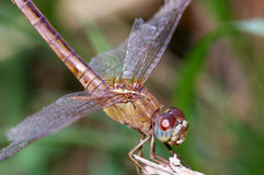 Hurt dragonfly Stock Image