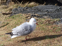 Hurt seagull Royalty Free Stock Images
