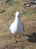 Hurt seagull Royalty Free Stock Image