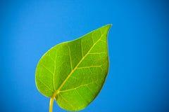 hurtig leaf royaltyfri bild