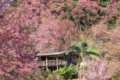 Hus av sakura den lösa Himalayan körsbäret på khun kian chang, Chiangmai thailand Royaltyfri Fotografi