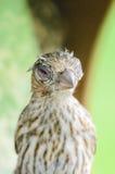 Hus Finch Eye Disease Arkivfoton