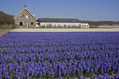 Hus vid ett blommafält i Holland Royaltyfri Fotografi