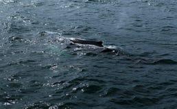 Husavik鲸鱼 库存图片