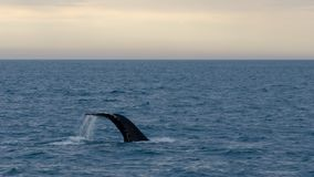 Husavik - the humpback whale Iceland, August 2018. The humpback whale Megaptera novaeangliae is a species of baleen whale stock photography