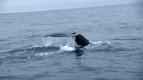 Husavik Humpback whale serie. Picture of diving Humpback Whale near Husavik in Iceland royalty free stock photo
