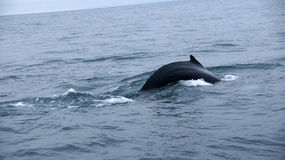 Husavik Humpback whale serie. Picture of diving Humpback Whale near Husavik in Iceland royalty free stock photos