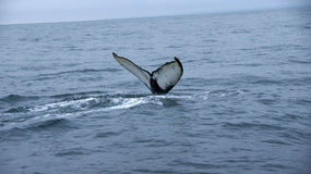 Husavik Humpback whale serie. Picture of diving Humpback Whale near Husavik in Iceland royalty free stock images