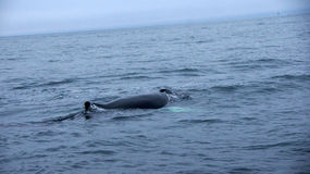 Husavik Humpback whale serie. Picture of diving Humpback Whale near Husavik in Iceland stock photography
