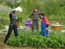 Husband, wife and her sister in picking chard Royalty Free Stock Photos