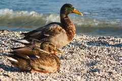 Husband and wife of mallard ducks. A male and a female mallard duck on a lakeside beach Royalty Free Stock Photos