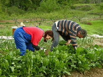 Husband and wife picking chard Stock Photos