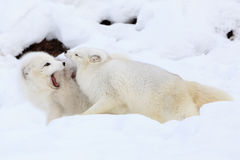Husband and wife. Two arctic foxes arguing over food and territory Stock Photos