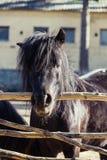 Husdjur för djur natur för vägg för ponnysvartblick arkivbild
