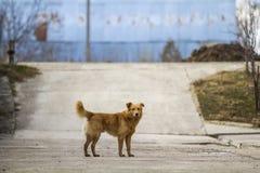Husdjur för gul hund med den pösiga svansen utomhus royaltyfri foto