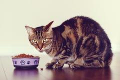 Husdjur för strimmig kattkatt med gräsplangulingögon som sitter på golv som äter torr mat royaltyfria bilder