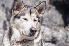 Husdjur hundkapplöpning, alaskabo Malamute Arkivbild