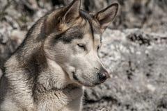 Husdjur hundkapplöpning, alaskabo Malamute Arkivfoton