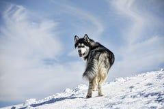 Husdjur hundkapplöpning, alaskabo Malamute Royaltyfri Bild