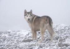 Husdjur hundkapplöpning, alaskabo Malamute Arkivfoto