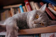 Husdjur: katten spelar på hyllan med böcker Arkivbild