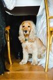 Husdjur om bröllopet - engelska Cocker Spaniel royaltyfri foto