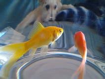 Husdjur returnerar den hangry guld- fisken för pappie Arkivbild