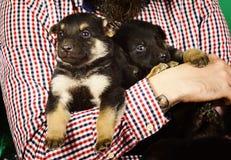 Husdjur som perfekt gåva Valpar i manliga händer royaltyfri foto