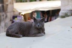 Husdjur - stående av en vila grå katt arkivbilder