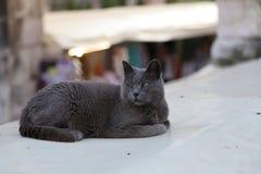 Husdjur - stående av en vila grå katt royaltyfri fotografi