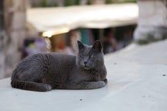 Husdjur - stående av en vila grå katt arkivfoton