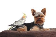 Husdjur yorkshire Terrier och cockatielfågel som tillsammans poserar på en kudde arkivbild