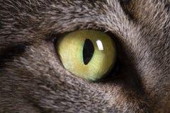 Husdjurdjur; foto för makro för grönt öga för strimmig kattkatt arkivbild