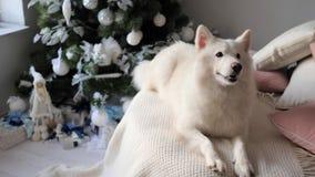 Husdjuret ligger på slags tvåsittssoffa stack vita plädet och skäller nära det dekorerade julträdet, atmosfär av hem- ferie arkivfilmer