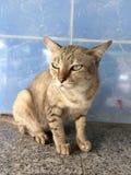 Husdjurkatt som irrar i templet Tillfällig katt arkivfoton